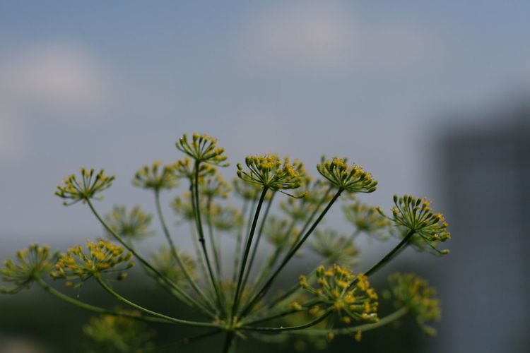 Dill, Anethum graveolens, Apiaceae Anethum Graveolens Dill Gurkenkraut Beauty In Nature Close-up Day Flower Flower Head Flowering Plant Focus On Foreground Fragility Freshness Green Color Growth Inflorescence Natural Condition Nature No People Outdoors Plant Selective Focus Sepal Tranquility Vulnerability  Yellow