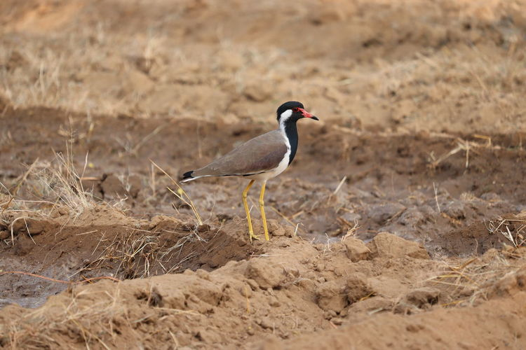 Close -up of a red wattled lapwing on dry ground in jaipur, outdoors birds , red wattled lapwing