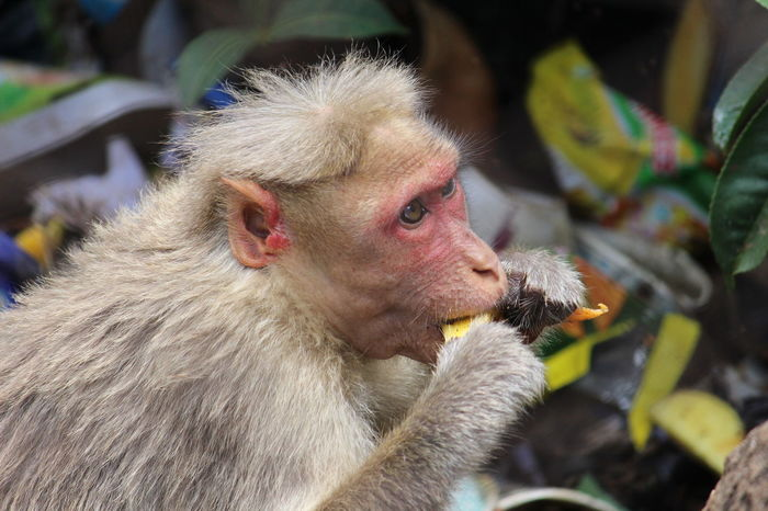 EyeEmBestPics EyeEm Best Shots The Great Outdoors - 2016 EyeEm Awards Showing Imperfection Animals Animal Head  Monkey Monkey Face Eating Mango Monkey King Traveling Home For The Holidays Millennial Pink Art Is Everywhere Lost In The Landscape Summer Exploratorium Adventures In The City
