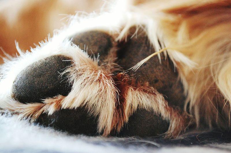 Macro Beauty Macro_collection Goldenretriever Golden Retriever Animal Photography Animal_collection Dog Dogs Of EyeEm Dog Photography Dog Feet Pets Domestic Animals Animal Themes Animal Body Part Cats & Dogs