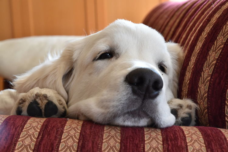 Chilling Couch Dog Chilling Golden Golden Retriever Animal Themes Close-up Dog Domestic Animals Golden Retrievers Indoors  On The Couch One Animal Pets