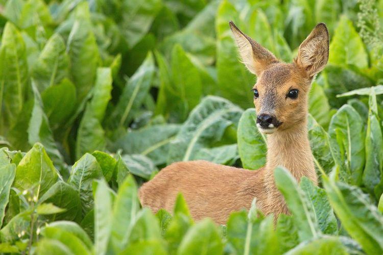 Reekalf, Roe Deer Cub Ree Biesbosch