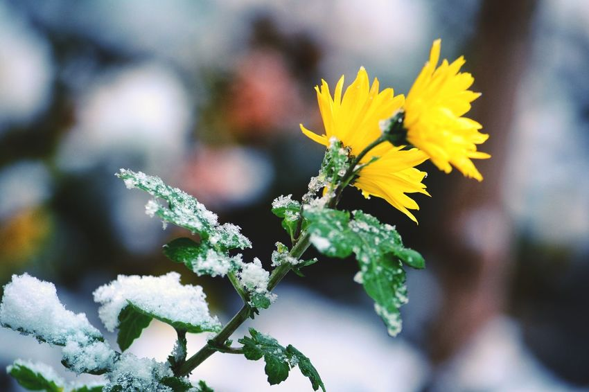 Flower Yellow Fragility Freshness Plant Petal Flower Head Snowfall Snow Covered Wintertime Snowflake Growth Beauty In Nature Outdoors Cold Temperature Snow Winter Frozen Weather Frost Flowers,Plants & Garden Flower In Snow