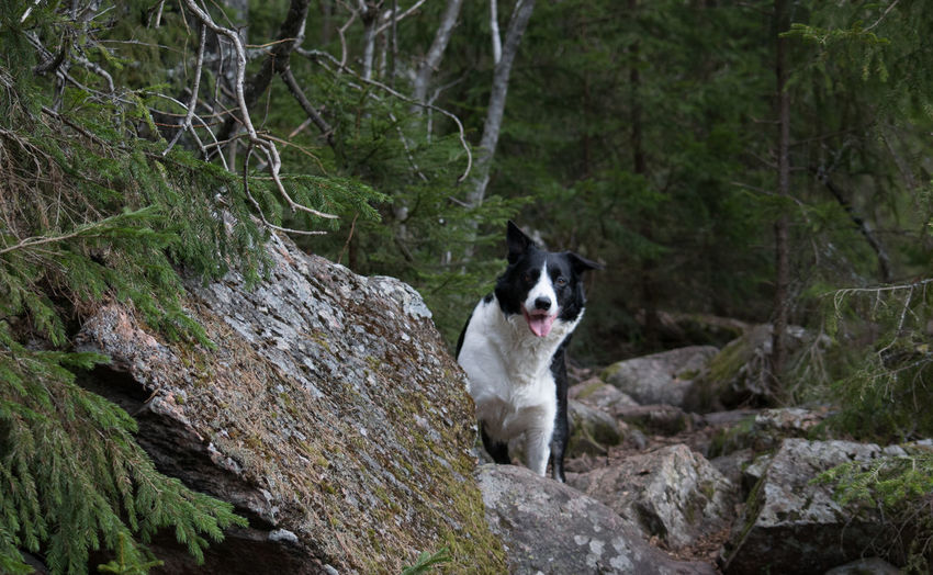 How's there: Beauty In Nature Border Collie Bordercollie  Dog Dog Love Dogs Forest Green Color Kuopio Nature No People Non-urban Scene Outdoors Pets Rock Rock - Object Tranquility Tree Vuorilampi