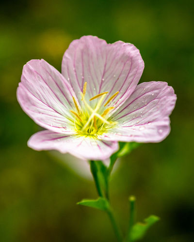Just a flower! Beauty In Nature Blooming Close-up Cosmos Flower Day Flower Flower Head Fragility Freshness Growth Nature No People Outdoors Petal Plant
