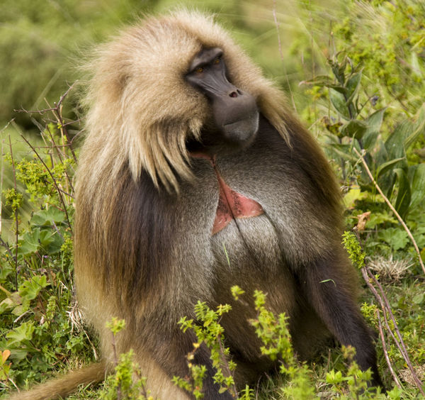 Gelada Baboon in the Simien Mountains Africa Animal Family Animal Head  Animal Themes Baboon Baboons Beauty In Nature Ethiopia Gelada Gelada Baboon Grass Mammal Nature No People Outdoors Simien Mountains