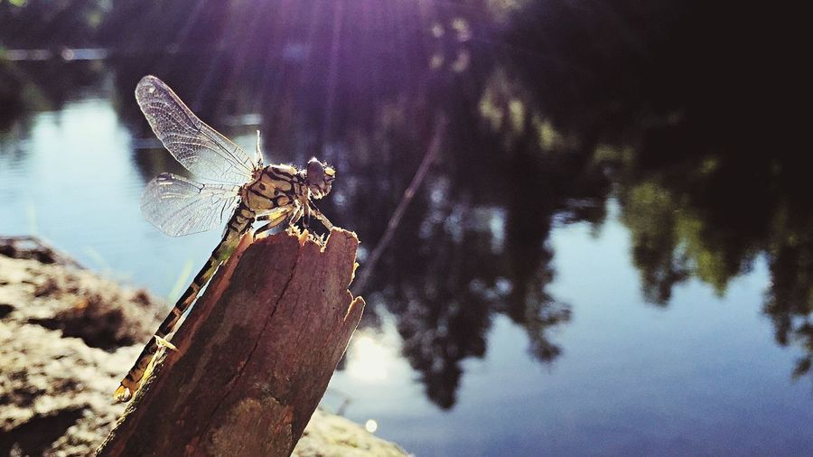Dragonfly Libellule River Sun Sunny Day Focus IPhoneography IPhone