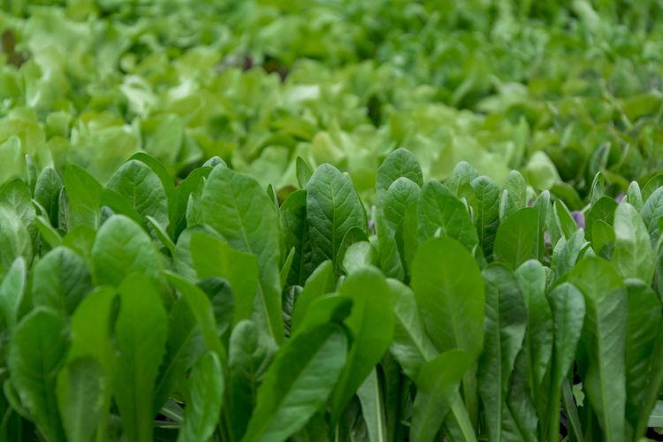 Green chicory
