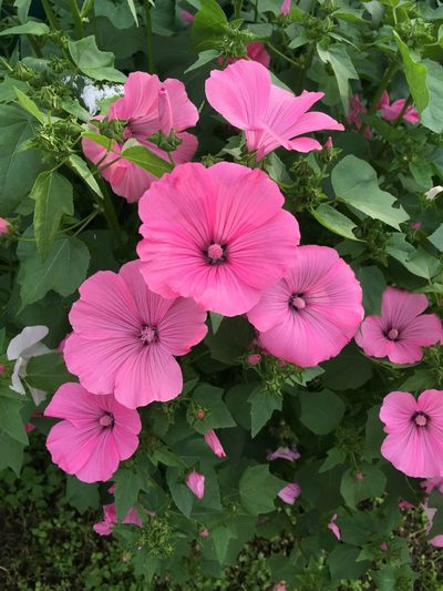 Flowers. Flower Plant Pink Color Beauty In Nature Petunia Nature Flowers Flower Head