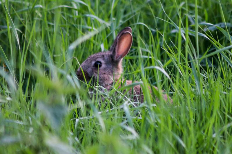 Bunny hiding in grass Ear Portrait Cute Meadow Close-up Grass Rabbit - Animal Rabbit Animal Ear Animal Eye Growing Animal Body Part Eye