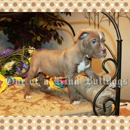 Beautiful chocolate female available. Please check our website for prices and availability, and for quickest guaranteed response please contact via email or phone. 1ofakindbulldogs Oneofakindbulldogs Oneofakind Oldeenglishbulldogges oldenglishbulldogs oldebulldogges bulldogs bulldog bulldogges oeb bullylife dogsofinstagram bulldogsofinstagram bulldogbreeder premierbreeder dogs followus followme follow4follow premierbreeder bulldogbreeder oebpuppies chocolatebulldogs victorianbulldogs 1ofakindbulldog dogs bulldogfarm igbulldogs bulldogpuppies puppies