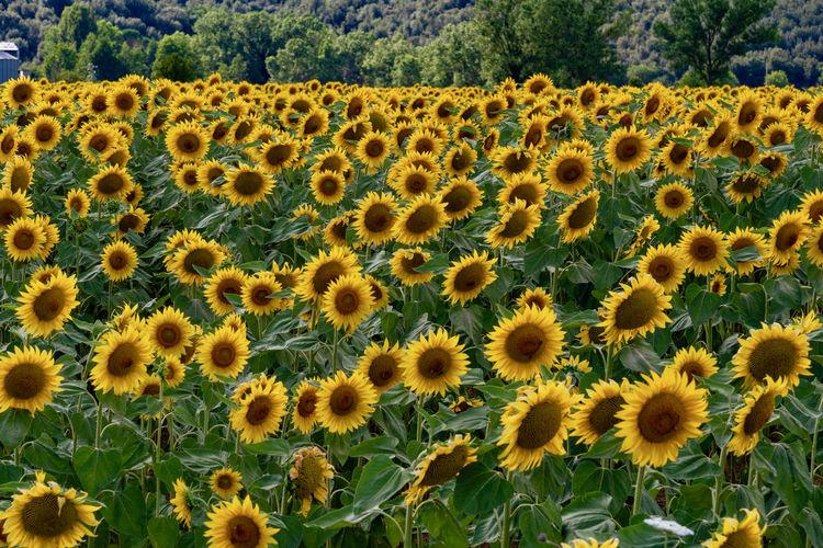 Scenic view of sunflower field