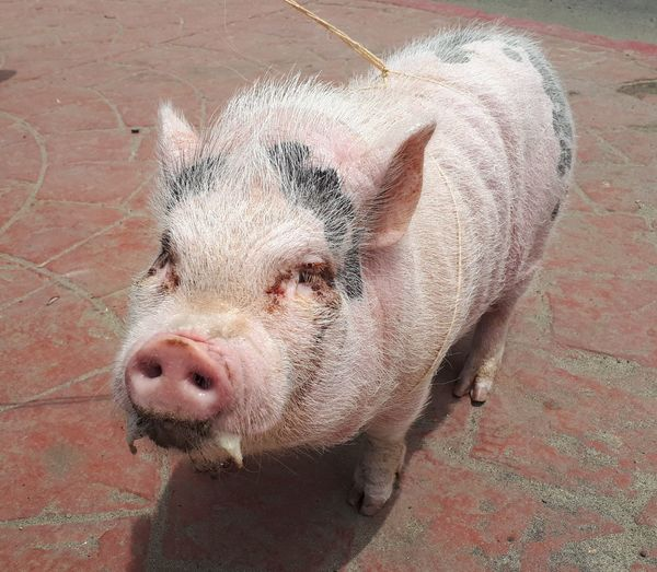 pig Pig Pink Pets Portrait High Angle View Close-up Snout Whisker Animal Nose Adult Animal Pampered Pets Vertebrate