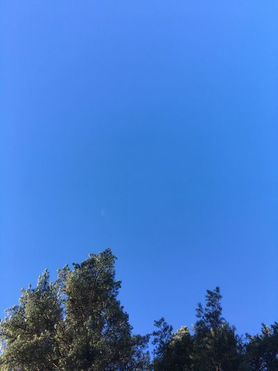 Blue Tree Nature Clear Sky Low Angle View Growth Tranquility Treetop Beauty In Nature Scenics No People Tranquil Scene Sky Outdoors Day Astronomy Pine Pine Tree Pine Trees Pine Top