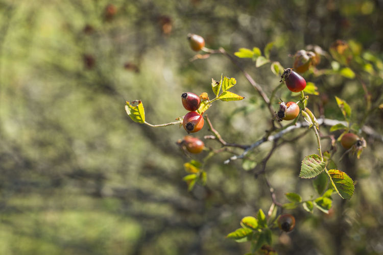 Close-Up Of Rowanberries Growing On Tree