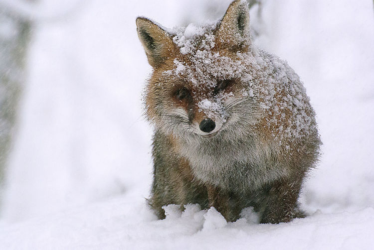 Close-up of fox on snowy field during winter