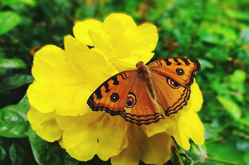 Insect Butterfly - Insect Flower Yellow No People Plant Focus On Foreground Beauty In Nature Beautiful Outdoors Kathir Mano Kathir1020