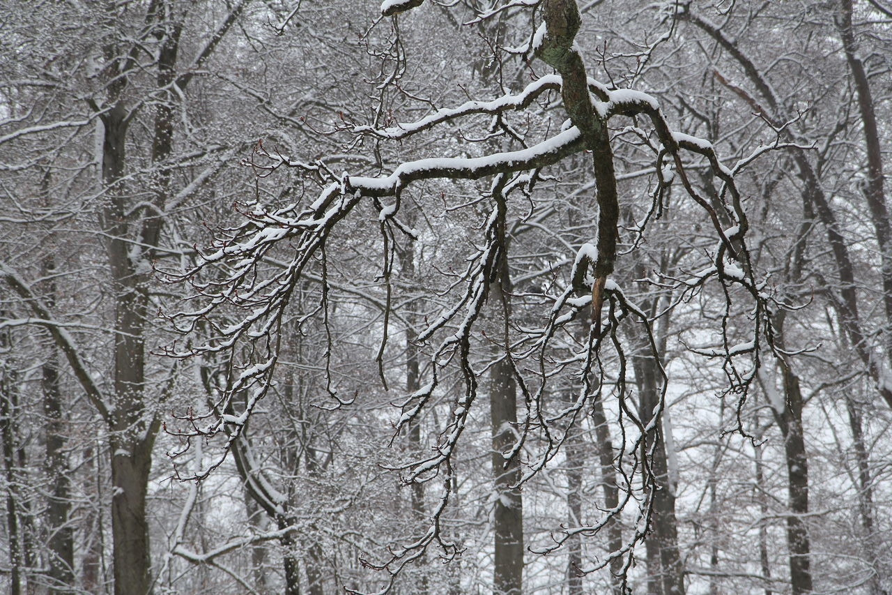 LOW ANGLE VIEW OF BARE TREES IN SNOW