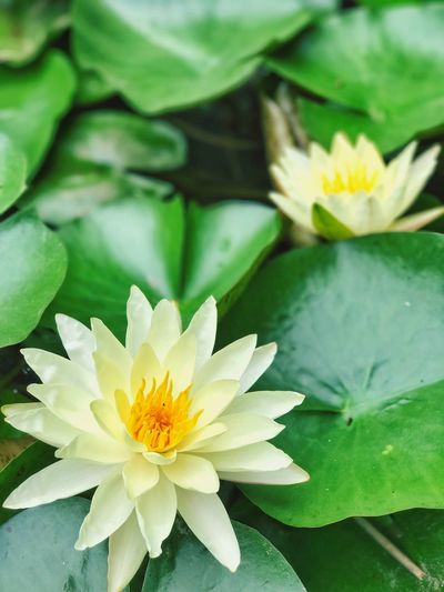 The Summer Solstoic. Beautiful water lilies. Flower Petal Beauty In Nature Nature Fragility Flower Head Freshness Leaf Growth No People Water Lily Close-up Yellow Lotus Water Lily Day Plant Blooming Outdoors Lily Pad