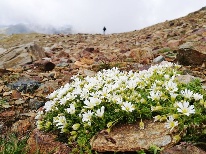 Mountain Flowers, Nature And Beauty Passo Dei Salati 2900m Lifestyles Outdoors Landscape