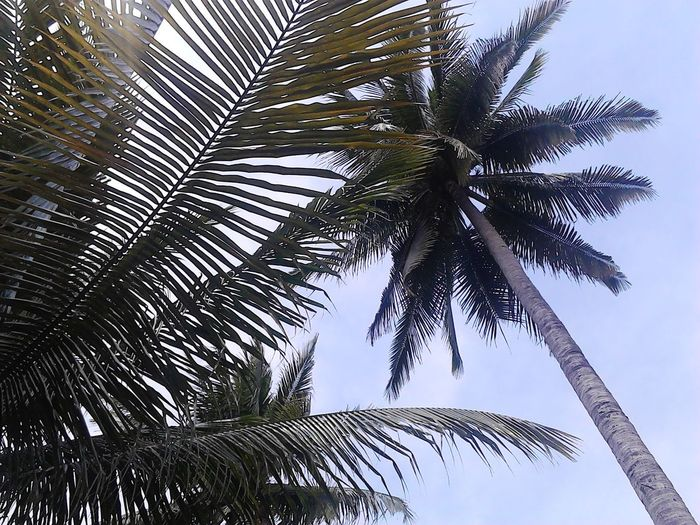 Palm Tree Low Angle View Nature Tree No People Day Outdoors Growth Branch Sky Beauty In Nature Close-up Inspiration Is Every Where Inspirations Everywhere. Inspirational Moment Inspiration_photography Inspirations Landscape Inspirational Refraction Beach Nature Beauty In Nature Vacations
