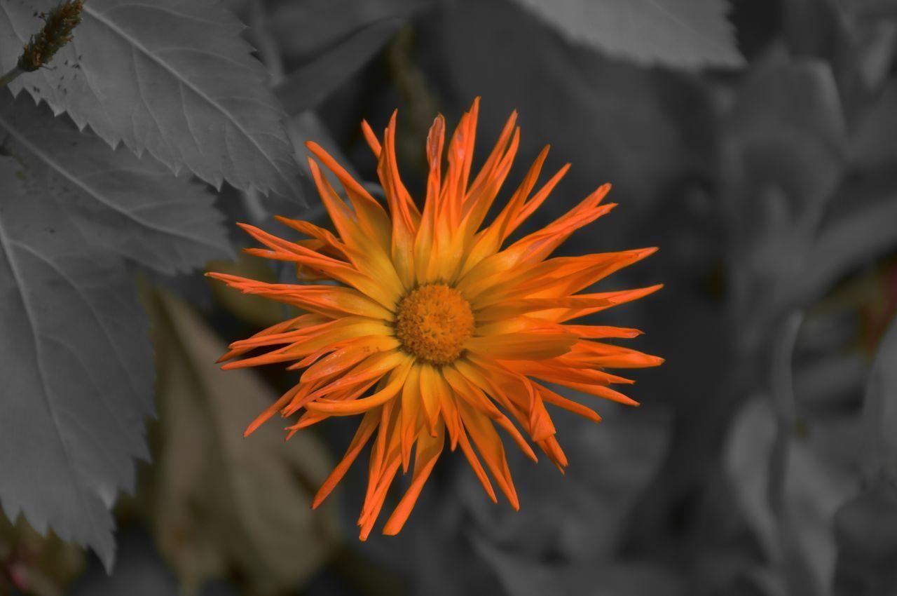CLOSE-UP OF ORANGE FLOWER IN BLOOM