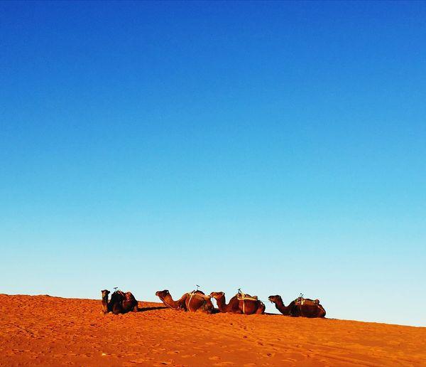 Flock of dromedaries in a desert