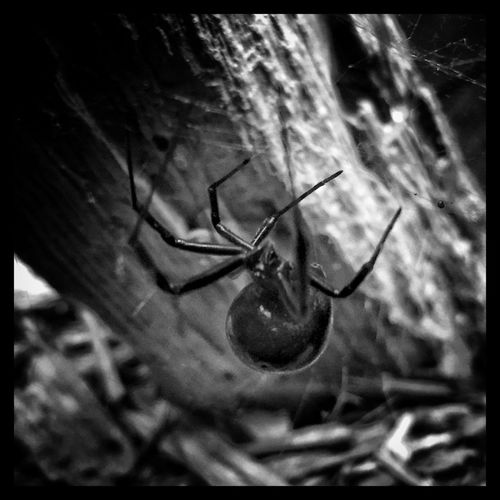 Black widow. Blackandwhite Only In Black And White Black And White Photography Spider Black Web Black Widow Throughmyeyez Deadly Up Close