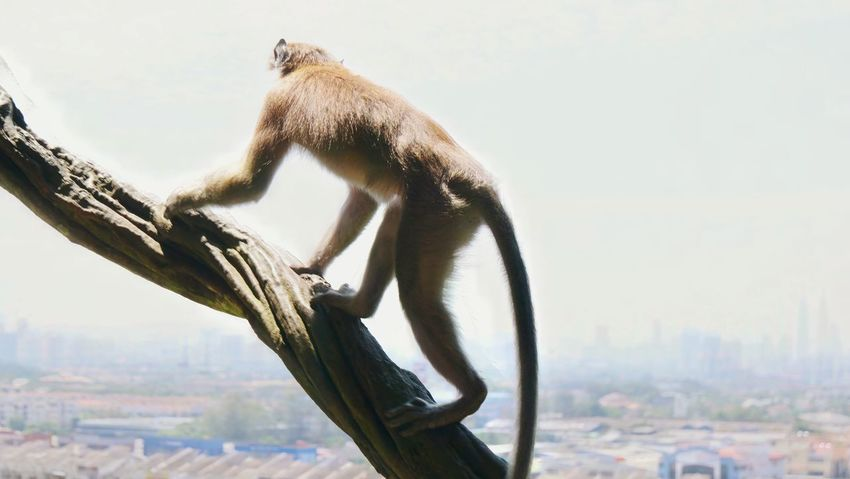 Outdoors Low Angle View Sky Primate Climbing Climbing Trees View From Above View City View  Flying High Breathing Space Kuala Lumpur Batu Batu Caves