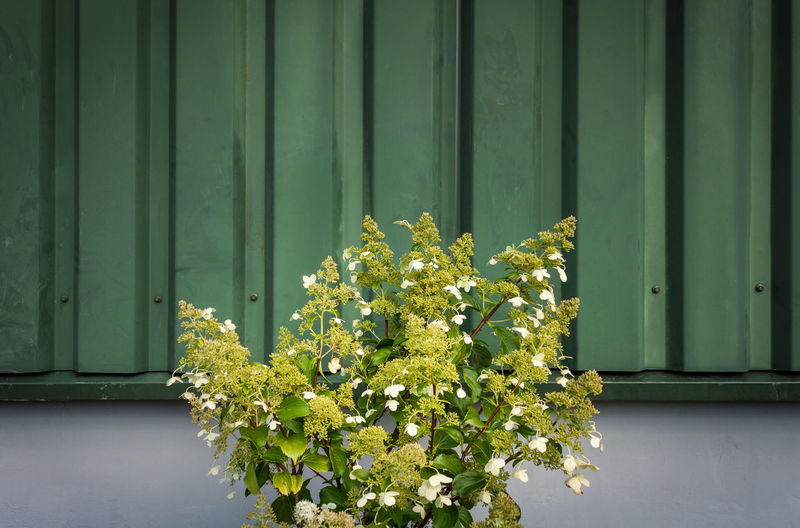Hydrangea flower plant growing against corrugated metal wall