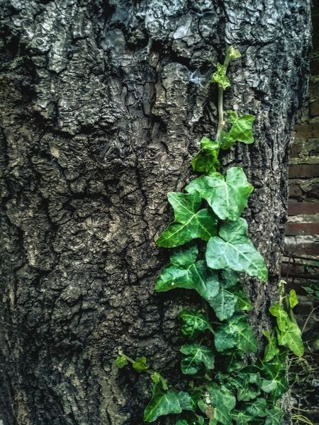 Hiedra árbol Natura Tree Leaf Ivy Textured  Full Frame Close-up Plant Green Color