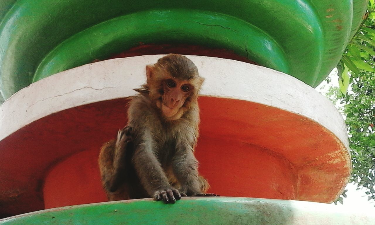 animal themes, animals in the wild, one animal, monkey, mammal, no people, day, sitting, outdoors, animal wildlife, looking at camera, portrait, nature