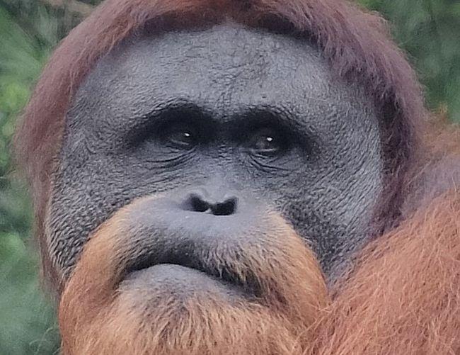 #postcard #wildlife Animal Animal Body Part Animal Themes Animal Wildlife Animals In The Wild Ape Close-up Mammal Nature No People One Animal Orangutan Primate Tropical Rainforest