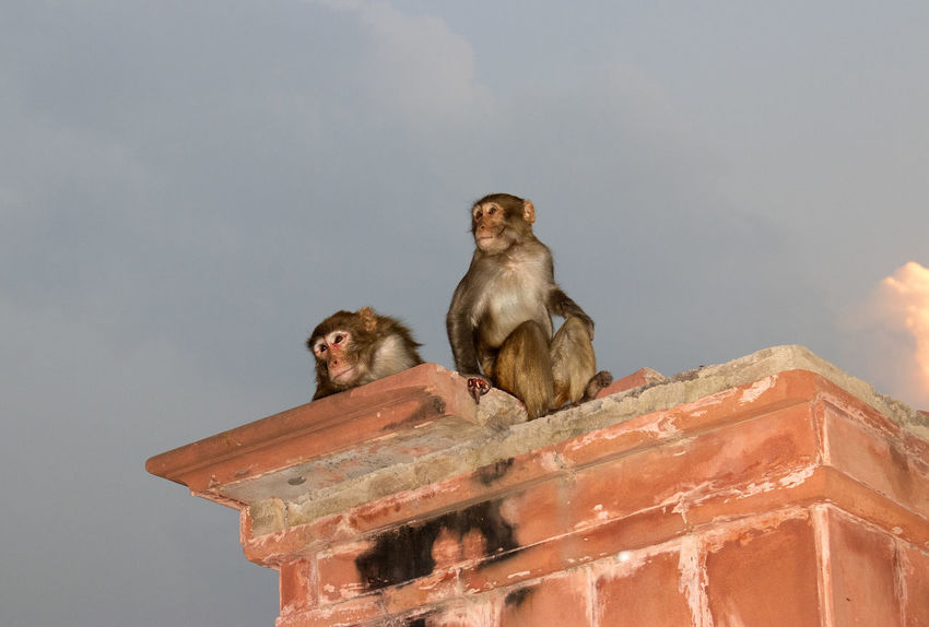 Monkeys watching sun setting over the Taj Mahal India Agra Animal Themes Architecture Day Low Angle View Monkey No People Primate Sitting Two Animals