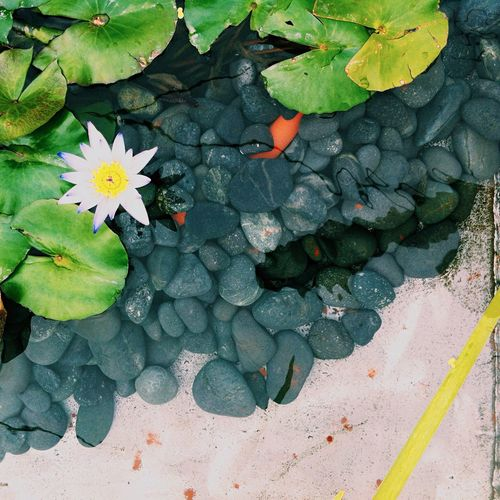Directly Above Shot Of Water Lily And Leaves Amidst Pebbles
