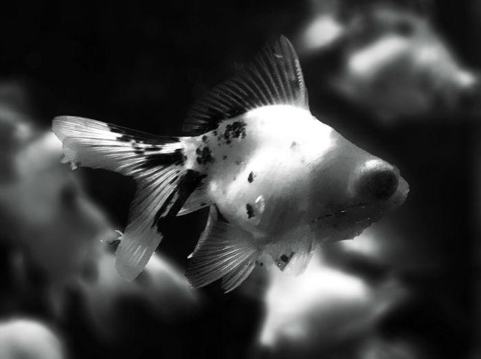 EyeEm Selects telescope eyes Animal Themes One Animal Animals In The Wild Close-up Nature No People Animal Wildlife Day Outdoors Spread Wings Swimming Beauty In Nature Water Carp Fish Iphonephotography IPhone7Plus