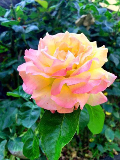 Rose in my