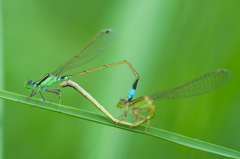 Damselflies mating Green Color Mating Animal Themes Animal Wildlife Animals In The Wild Beauty In Nature Close-up Damselfly Day Fragility Green Color Greenery Insect Leaf Mating Pair Of Insects Nature No People Outdoors Two Animals Wings
