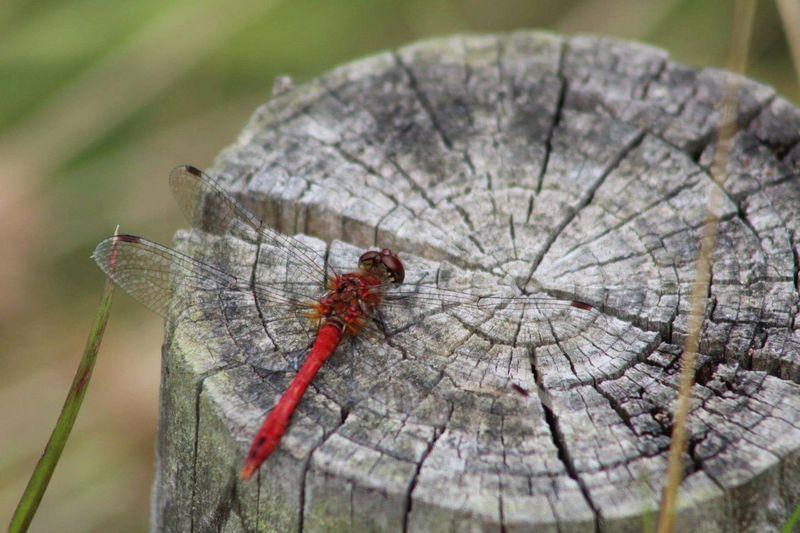 Dragonfly Wood