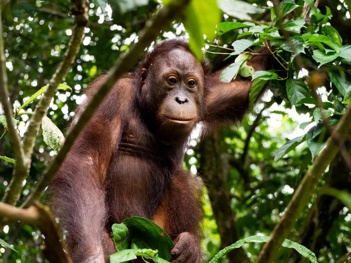 Orangutan close-up in a jungle tree in a rainforest in borneo, malaysia