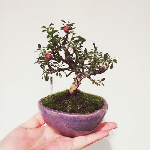 Bonsai Minibonsai White Rosewood