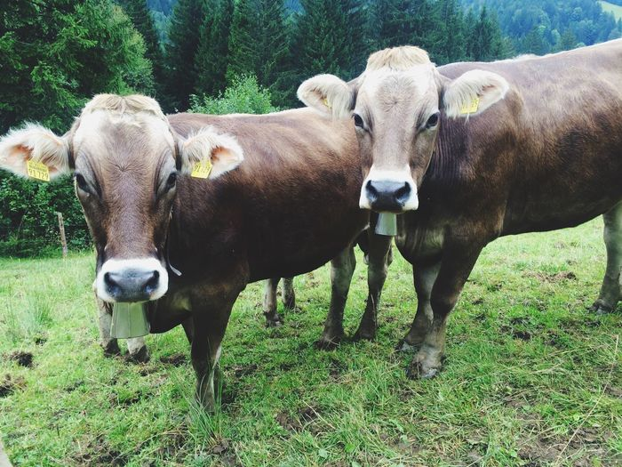 Portrait of cows standing on field