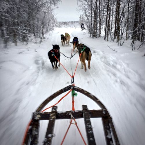 Sled Dog Snow Winter Working Animal Transportation Mode Of Transport Sled Dog Speed Adventure Sport Shades Of Winter