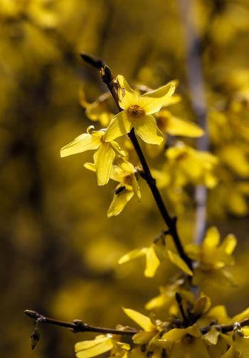 Forsythia Nature Flower Collection Forsythia Forsythia Blooms Forsythia Flowers Spring Flowers Spring Foliage