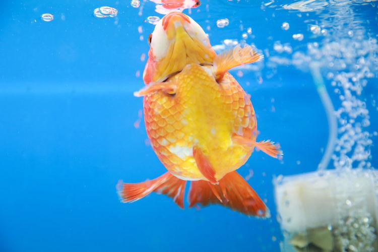 Close-Up Of Goldfish Swimming In Tank At Aquarium