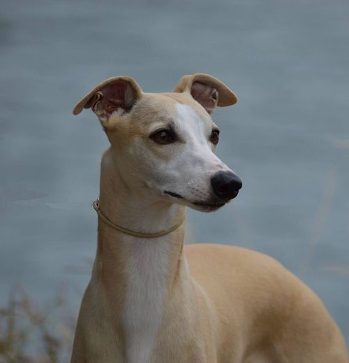 Close-up of whippet looking away