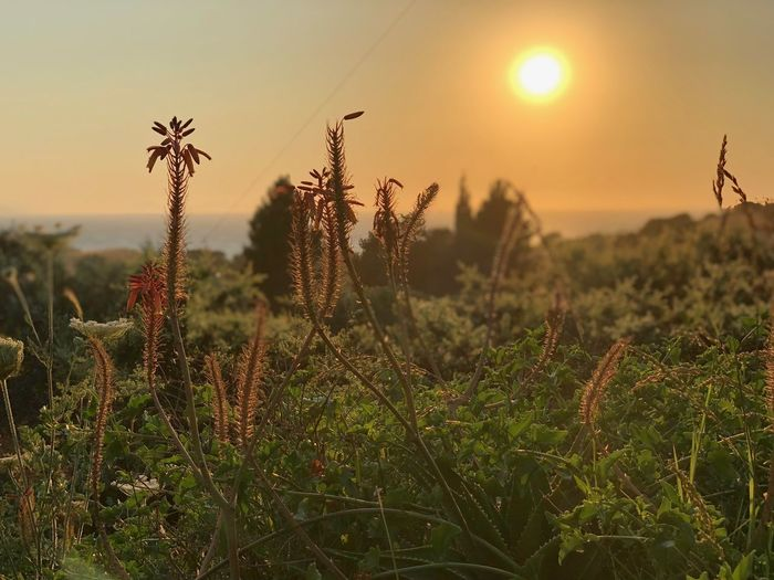 Such a lovely sunset Plant Growth Sunset Beauty In Nature Sky Field Tranquility Tranquil Scene Focus On Foreground Nature Scenics - Nature No People Sunlight Flower Close-up Landscape Sun My Best Photo The Mobile Photographer - 2019 EyeEm Awards The Great Outdoors - 2019 EyeEm Awards