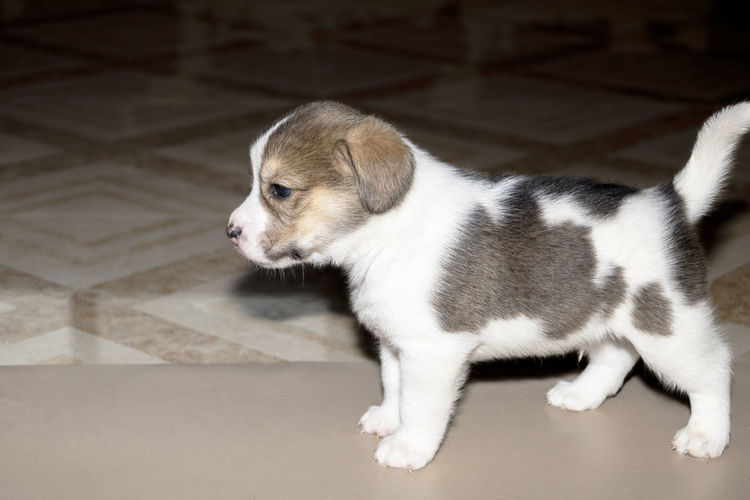 High angle view of puppy on floor at home