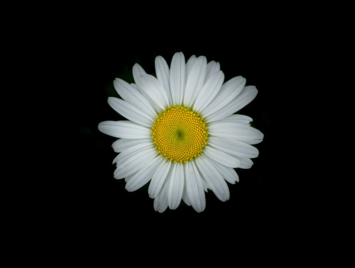 The Week On EyeEm Freshness Beauty In Nature Tranquility Nature White Flower White Background White Foreground Flower Petal Flower Head Black Background Fragility Close-up Beauty In Nature Pollen Yellow Studio Shot Freshness No People Nature Plant Stamen Growth Day