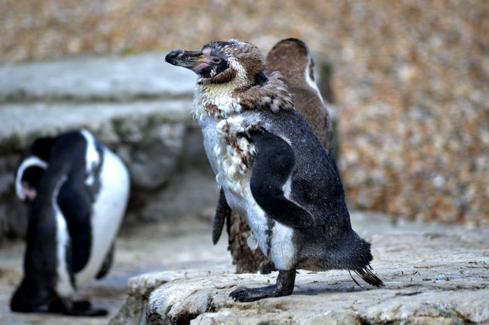 Animal Call Animal Themes Animal Wildlife Animals In The Wild Day Focus On Foreground Humboldt Humboldt Penguin Mammal Nature No People Outdoors Penguin Penguins Rock - Object